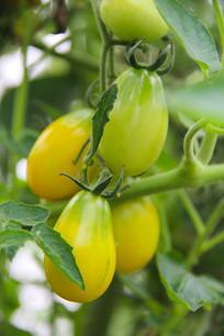 枝头小西红柿