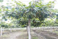专业种植猕猴桃