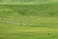 辽阔牧场羊群