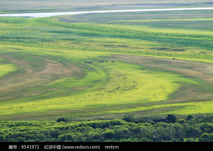绿色牧场 吃草的牛群 图片