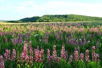 牧场草甸开满了野花
