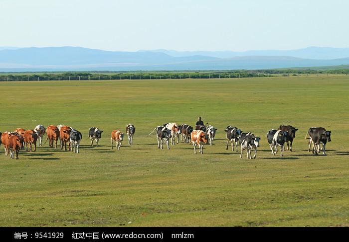 牛群牧归图片