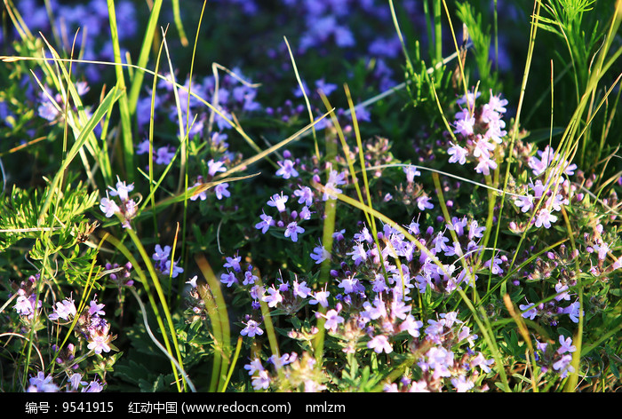 野生花卉亚洲百里香图片