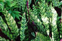 披针叶斑竹芋