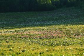 草原草甸山花盛开