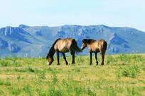 高山牧场上的蒙古马