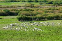 牧场草甸上的羊群