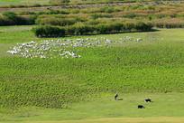 牧场草甸羊群