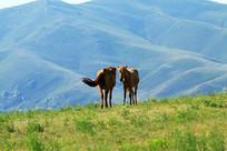 牧场上的蒙古马