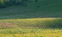 山坡牧场草甸花开