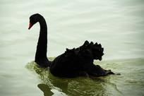 向前的黑天鹅