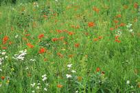 草原盛开有斑百合