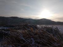 早上的雪地里的玉米杆