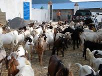 规模化山羊养殖
