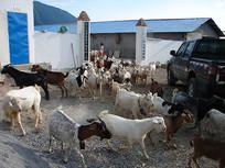 农村经济项目山羊养殖