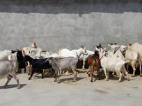 农村山羊养殖