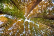 秋天杉树摄影