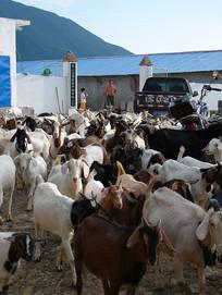 山羊养殖的羊群