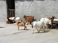 山羊养殖圈养的山羊