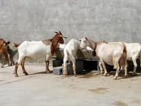 山羊养殖饮水的羊群