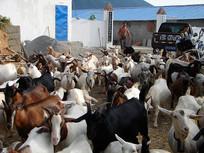 山羊养殖专业户
