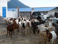 中国西部山区山羊养殖