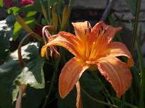 橙色的忘忧草花