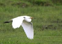 大雁南飞的鹭鸶