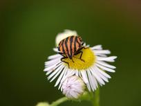 野菊花上的赤条蝽