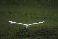 大鹏展翅的鹭鸶