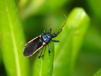 海桐叶尖上的黑光猎蝽