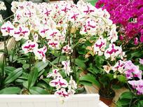 白色带紫色芯的蝴蝶兰花卉