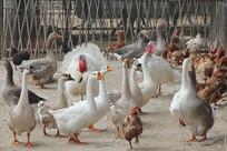 鸡鸭鹅养殖场