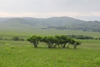 乌兰布统草原小树林