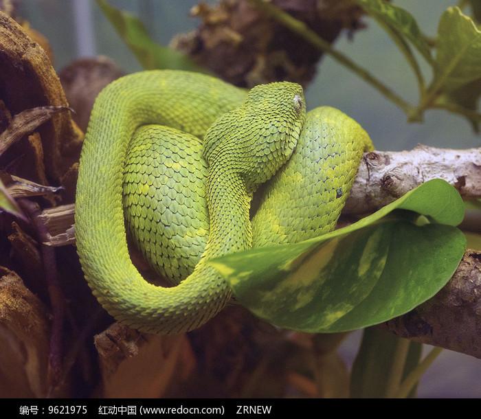 素材描述:红动网提供陆地动物精美高清图片下载,您当前访问图片主题是睡觉的蛇,编号是9621975, 文件格式是JPG,拍摄设备是E-M1,您下载的是一个压缩包文件,请解压后再使用看图软件打开,色彩模式是RGB,图片像素是4168*3456像素,素材大小 是4.43 MB。