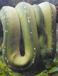 挂着的蟒蛇
