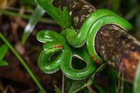 红眼睛的蛇