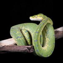 绿皮肤的蛇