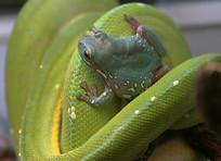 牛蛙与蟒蛇