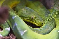 神秘的蟒蛇