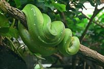 树干上的蟒蛇