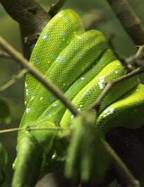 弯曲的蟒蛇