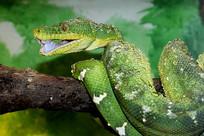 张开嘴的大蛇