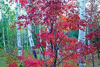 白桦林红叶