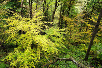 彩林树林黄叶