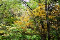 灿烂的树林黄叶