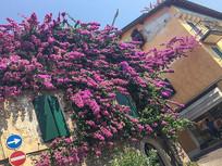 紫色庭院花都