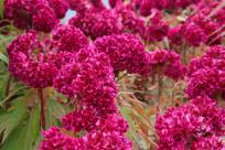 鸡冠花花丛
