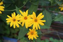 金色金盏花花丛