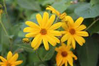 金盏花花朵